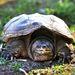 Az aligátorteknős vörös listás fajnak számít, azaz a kihalás veszélyezteti. Magyarországon nem tartható fogságban.