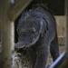 Teljesen egészséges, tökéletes kiselefánt