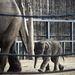 Budapesten 1961 óta nem született elefánt