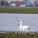 Hattyúk a belvízzel borított repceföldön a Jász-Nagykun-Szolnok megyei Alattyán határában.