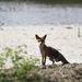 Megrémült róka