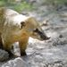 """Ormányosmedve A figyelmetlen tulajdonosától távozó ormányos medve egy gellérthegyi, ötemeletnyi magas fára mászott fel. Both Zoltán utána mászott, befogta a rémült medvét, egy kötéllel leengedte az erre alkalmas dobozban, de ő már nem tudott lemászni. """"Végül engem a tűzoltók szedtek le"""" – emlékszik a vadállat-befogó. Az ormányos medve – csak úgy, mint a mosómedve – kapható Magyarországon, ennek a példánynak a tulajdonosa azonban éppen szellőztette a lakást, az állat a nyitott ablakon át távozott a fás Gellérthegyre."""