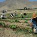 Az is jellemző, hogy az afgán parasztok öntözés gyanánt elárasztják földjeiket. A kandahári PRT egyik kaliforniai agrártanácsadója szerint első lépésben arra kellett megtanítani a földműveseket, hogy öntözés előtt nézzék meg, egyáltalán szükség van-e rá. A modern öntözési módszereket, például a csepegtetést azzal is propagálják, hogy így a termények közti sorokban kiszárad a föld, nem terem meg a gyom, így kevesebb a munka is.