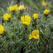 Virágzó erdélyi hérics (Adonis x hybrida) a Körös-Maros Nemzeti Park területén, Csorvás határában. A hérics Magyarország első számú védett növénye.