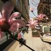 Virágzó fák egy manhattani utcán. Megérkezett a tavasz a hosszúra nyúlt tél után, amit már nagyon várt mindenki New Yorktól Tokióig.