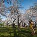 A folyó partján mára  3000 fásra duzzadt cseresznyéskert Tokió ajándéka, a két nép barátságának jelképe.