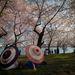 Beindult a cseresznyevirágzás Washingtonban.