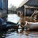 Tavaszi áradások nehezítik emberek és állatok életét egyaránt, a fővárostól, Minszktől pár száz kilométerre.