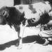 Egy nő egy elefántfejű tehenet fej - április elsejei tréfa 1932-ből