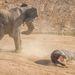 A csorda többi tagjával van, bemenekült a vízbe az elefánt elől, és ott várta ki, hogy fenyegetés megszűnjön.