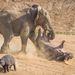 Az elefántbika az ormányával elkapta az egy-másfél tonnás vízilovat, és feldobta a levegőbe.