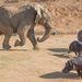 Elképesztő jelenetet fényképezett végig Namíbiában, egy természetvédelmi területen Rian Van Schalkwyk holland természetfotós. A területet súlyos aszály sújtja, ezért a vízpartokon egyre sűrűbb a forgalom, főleg, hogy ezeken a helyeken a rezervátumok dolgozói takarmányt raknak ki az élelemben szűkölködő állatoknak.