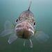 Süllővel farkasszemet nézni...?II. díjKategória: Élet a vízfelszín alatt