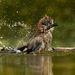 VallomásDíj: Humoros felvétel I. díj Kategória:  A madarak viselkedése