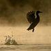 Hajnali startIII. díj Kategória:  A madarak viselkedése