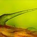 Csalánszőr egy levél erezetén   Nagyítás: 100x   Fotós: Charles Krebs, (USA, Issaquah, Washington)