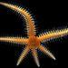Tengeri csillag   Nagyítás: 8x   Fotós: Alvaro Migotto, São Paulo Egyetem, tengerbiológiai központ, Brazília