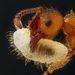 Lárváját cipalő hangya (Myrmica sp.)   Nagyítás: 5x   Fotós: Geir Drange, Borgen, Norvégia