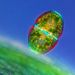 Zöldalga egy tőzegmoha levele közelében   Nagyítás: 100x    Fotós: Marek Mis (Lengyelország, Suwalki)
