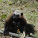 Az éghajlatváltozásokkal járó felmelegedeés miatt hamarosan a veszélyeztetett fajok listájára kerülhet a tundrák kistestű ragadozója, a medvéknek is nekiugró rozsomák.